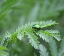 The beautiful rare Tansy Beetle