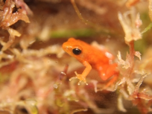 Endangered golden mantella frogs go out on display